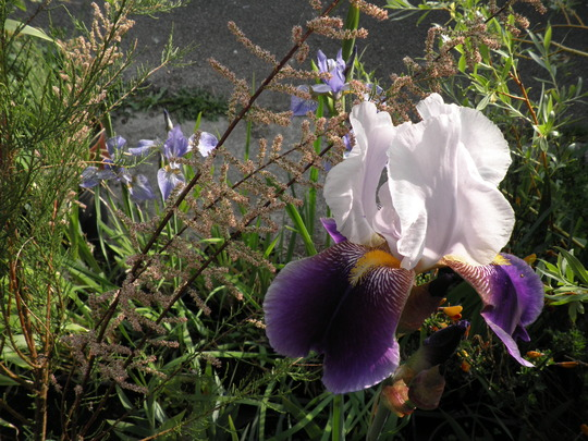 Bearded iris and Sibiricas