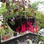 Fuchsia Eruption....