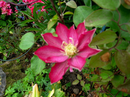 clematis - not sure which one, could be 'Rebecca'