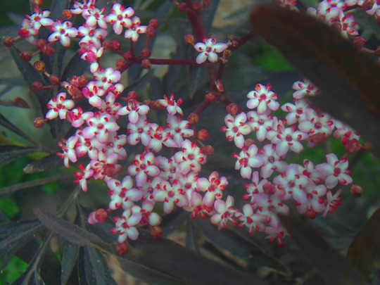 Sambucus black lace flowers  (sambucus)