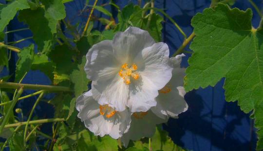 Abutilon Nyman's white (Abutilon Nyman's white)