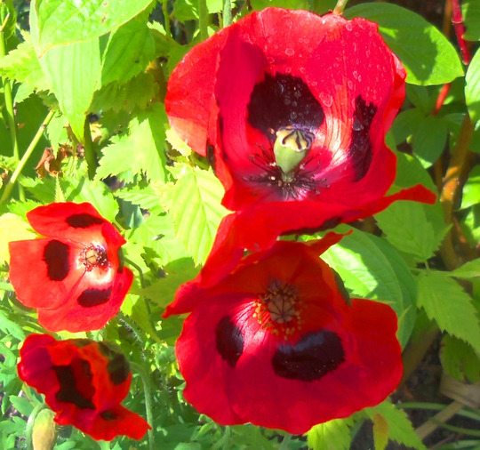 Poppy - ladybird papaver (poppy)