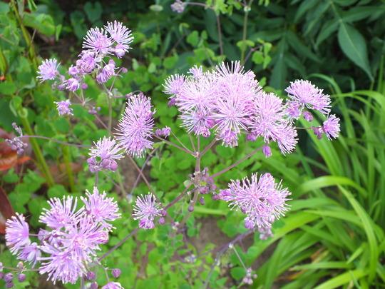 Thalictrum Aquilegifolium (Thalictrum aquilegiifolium (Meadow Rue))