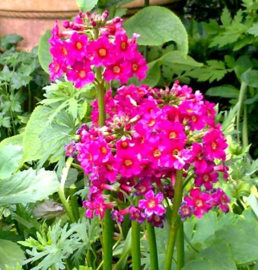Primula Bulleyana Candelabra      For Drc726
