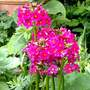 Primula Bulleyana Candelabra      For Drc726