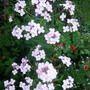 Hesperis ( Sweet Rocket)