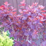 Cotinus Royal Purple