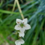 ornithogalum thyrsoides (ornithogalum thyrsoides)