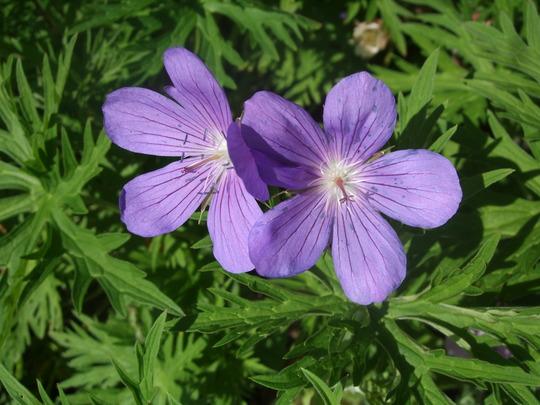 Geranium himalayense 'Gravetye' (Geranium himalayense)