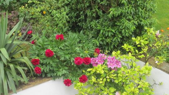 Paeony, Magnolia and Clematis in the corner of the patio. (Magnolia liliiflora (Magnolia))
