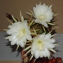 It's that Epiphyllum again. (Epiphyllum cooperi)
