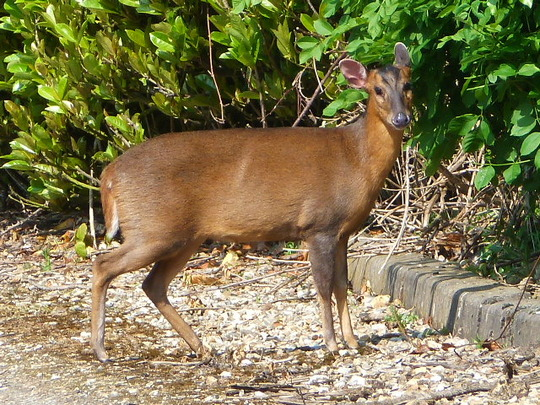 Muntjac outside my gate