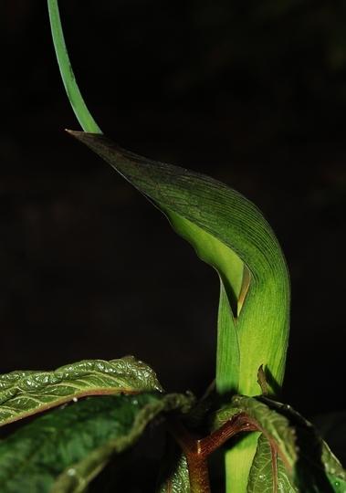 Arisaema tortuosum (Arisaema tortuosum)