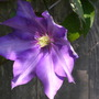 Unkown clematis in one of my customers gardens