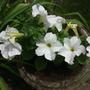 White_petunias