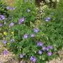 Geranium 'Johnsons blue' (Geranium 'Johnsons blue')