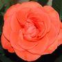 Velvet_rose