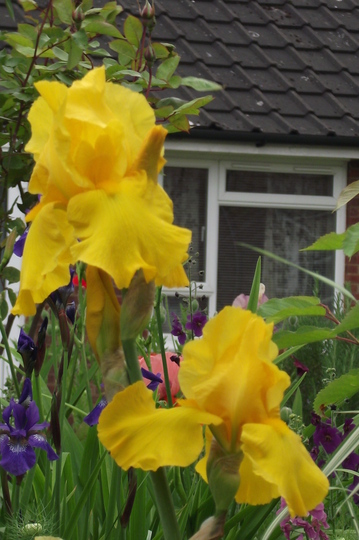 Iris Carolina Gold (Iris germanica (Orris))