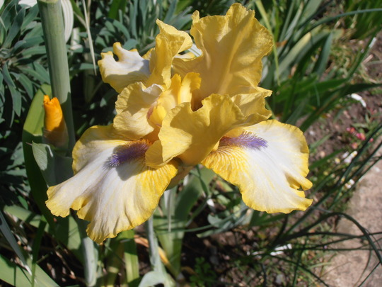 Iris Abbey Chant