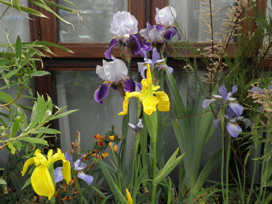 Ok just one more of the irises