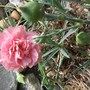 Dianthus caryophyllus (Carnation Can-Can) (Dianthus caryophyllus (Carnation Can-Can))