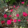 Dianthus deltoides flashing light