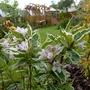 Weigela florida variegata (Weigela florida (Weigela))