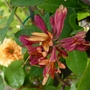 Lonicera Heckrottii 'Gold Flame' with Rosa 'Crown Princess Margareta' (climbing) (Lonicera x heckrottii (Honeysuckle))