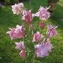 Aquilegia_vulgaris_nora_barlow_pink_