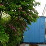 Crataegus (Midland Hawthorn) and my blue shed. (Crataegus laevigata 'Rosea Florea Pleno')