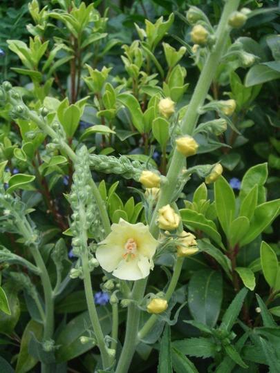 Verbascum chaixii 'Gainsborough' (Verbascum chaixii)