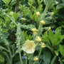Verbascum chaixii 'Gainsborough' (Verbascum chaixii)