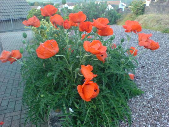 My Poppies