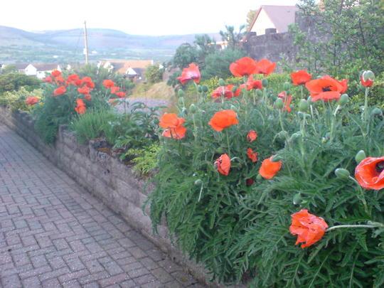 Poppies in front garden.