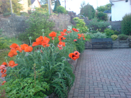 Poppies & bench
