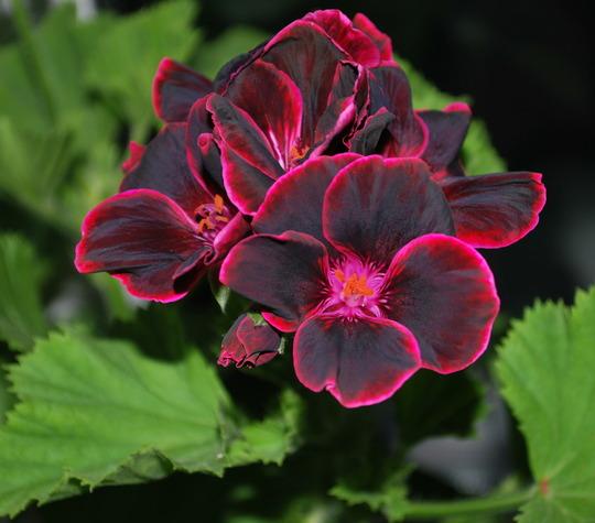 Lord Bute..... (Pelargonium zonal.)