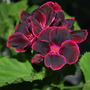 Lord Bute..... (Pelargonium zonal.)