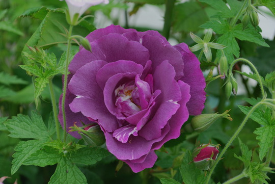 Rhapsody in Blue..... (Rosa Rhapsody in Blue.)