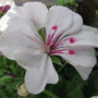 Ivy Geranium Contessa White Luna