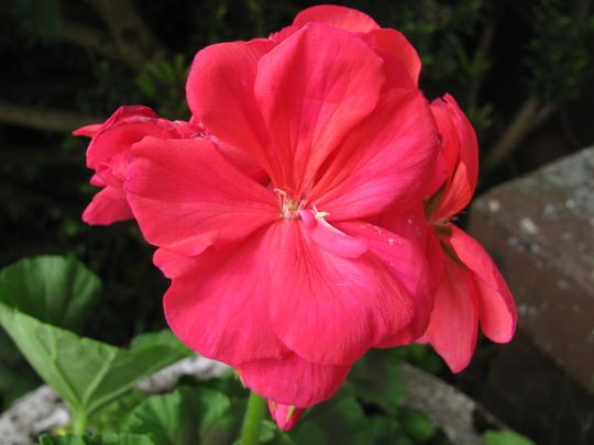 Geranium Rocky Mountain Salmon Rose