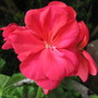 Geranium Rocky Mountain Salmon Rose