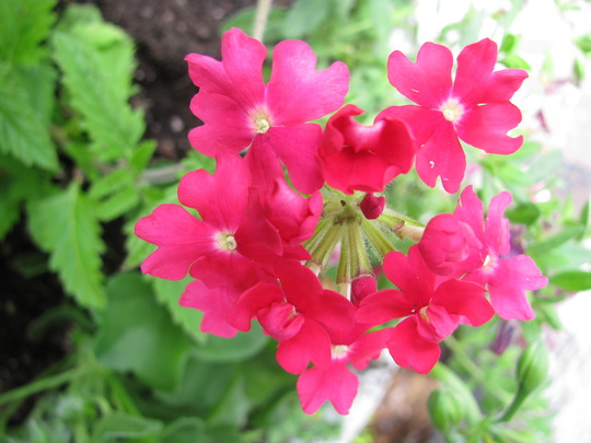 Verbena Wild Rose