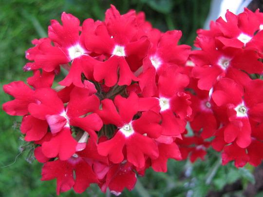 Verbena dark red