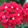 Verbena dark red