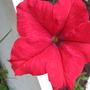 Petunia Red