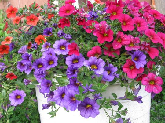 Calibrachoas Can-Can Orange, Caberet Cherry Rose & Caberet Purple