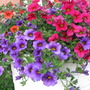 Calibrachoas Can-Can Orange, Caberet Cherry Rose & Caberet Purple