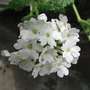 Verbena White Magic