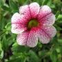 Calibrachoa Pink Vein