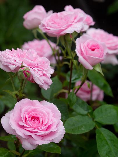 Gertrude Jekyll (Rosa multiflora (Rose))